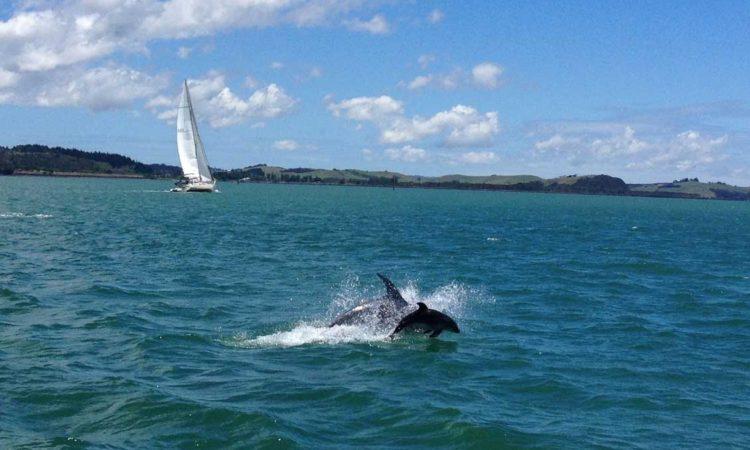 Paihia dolphins